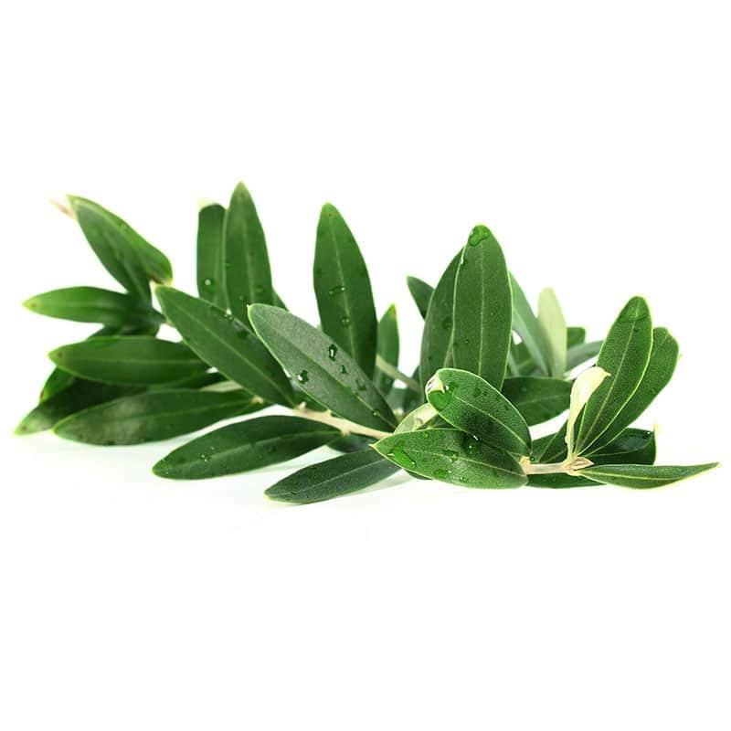 Olive Leaf Plant