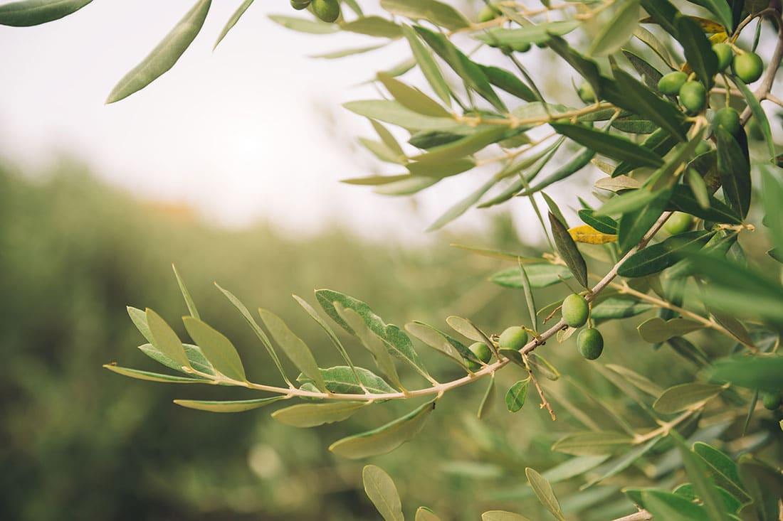 Olive Tree Detail